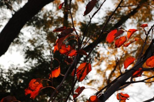 Red leaves by Wilber