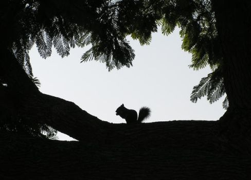 squirrel silhouette by jalzate