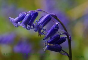Blue Bells by Deb-e-ann
