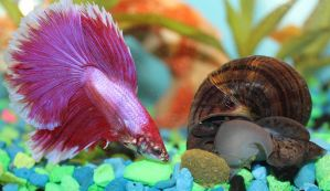 Sharing Betta and Snail by Murphy1210