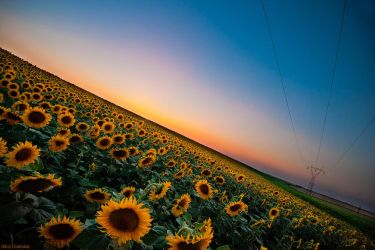 Sunflowers by NickKoutoulas
