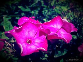 Summer Flower 2012 - 7 by Ingnition