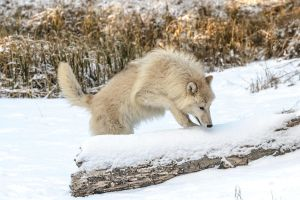 Arctic Wolf VII by White-Voodoo