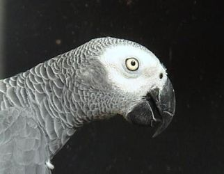 African Grey by Helens-Serendipity