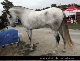 gray andalusian stallion 1 by venomxbaby