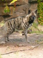 Striped Hyena by ShiverZPhotography