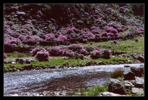 Rhododendron Valley by ash