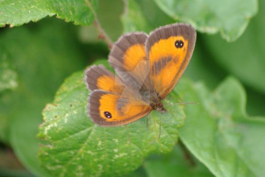 Pyronia tithonus (Gatekeeper Butterfly) #2 by emilybee