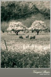 Vineyard Sheeps by Saurav
