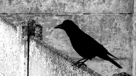 Crow #2 by ThePusch
