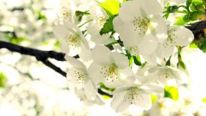 blossom widescreen wallpaper by illusionality