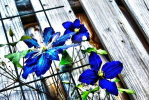 Clematis by Griesli