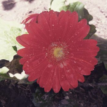 Red daisy by weeze999