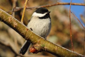 Sunny Morning Chickadee by natureguy