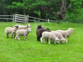 Sheep at play by craftywench-nh