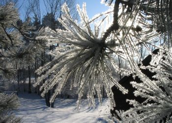 Snow-Crusted Pine by Qrystal