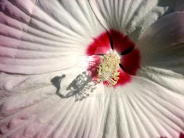 hibiscus by abaldwin