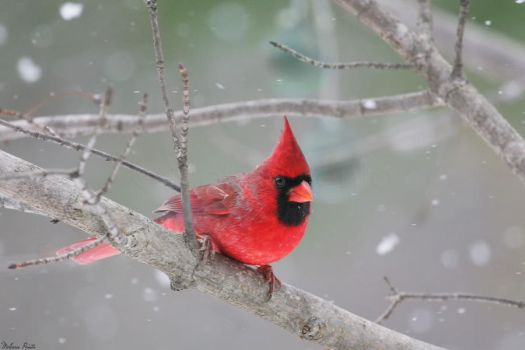 Snow Cardinal by mydigitalmind