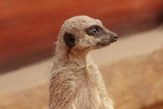 Meercat by Dadstock