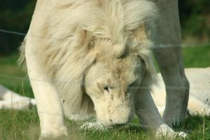 White Lion by Havoc-elite
