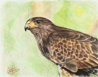 Hawk by cjc7664