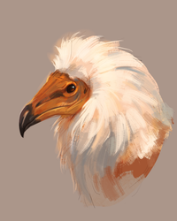 Eyptian Vulture Study by CorvusHound