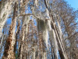 moss covered bald cypress by crazygardener