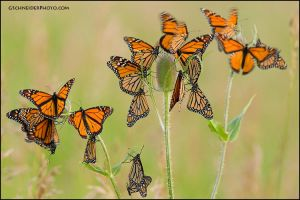 Monarch butterfly roost by gregster09