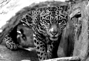 Jaguar by Shadow-and-Flame-86