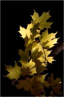 Vermont Maple Leaves by teflon