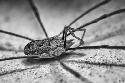 Opiliones by IHEA