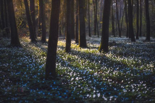 Anemonenwald by mescamesh