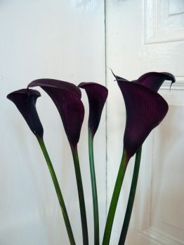 calla stock 2 by Mihraystock