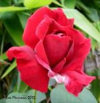 Red Rose by BreeSpawn