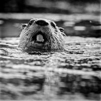 The Otter Nose by clippercarrillo