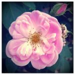 candy pink rose by sataikasia