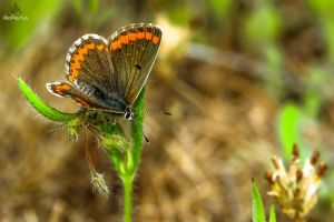 Butterfly Aricia cramera by VitoDesArts