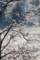 Maple Tree in the ice 2 by the0phrastus