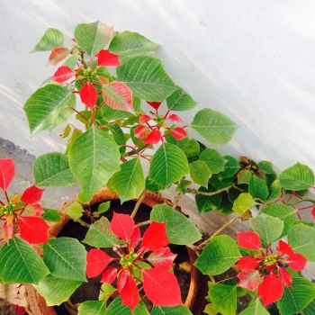 Combination of Red  green leaves by nawtysanyam