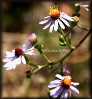 Wild Aster by SassyPants61762