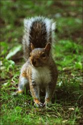 Grey squirell standing by Louvargent