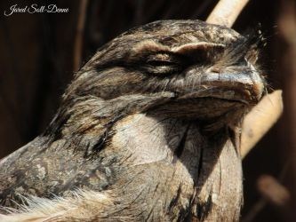 Tawny Frogmouth Profile Shot by Soll-DenneGallery