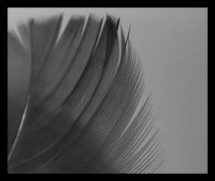 Black and White Feather2 by Natbun