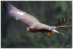 Golden eagle - Bryan by W0LLE