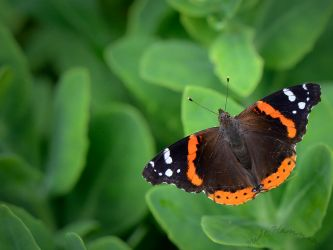 Red Admiral by mrh