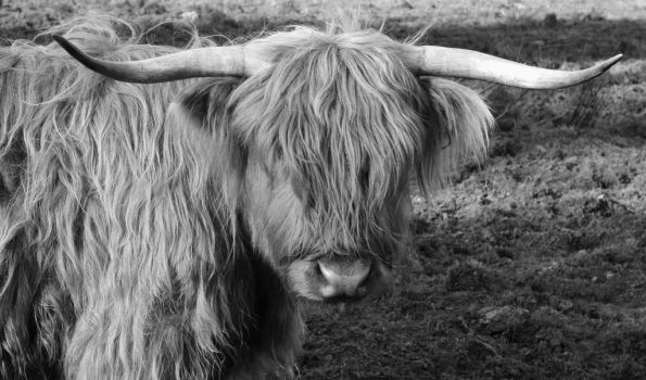Highland Cow by Tioc