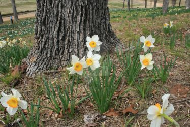 Wild Orange and White Daffodils by 1-Jack-Frost