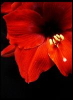 : red flower III : by my-try