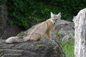 Foxie Lookout by B-JacobDawson
