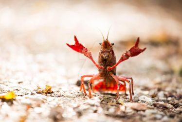 Crayfish by Diogopedromarques